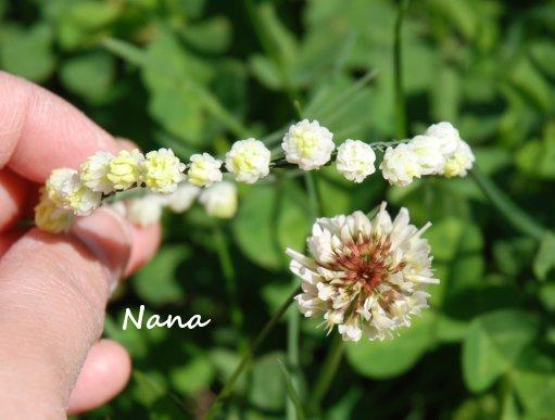 clover1-4.jpg