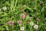 clover1-42.jpg