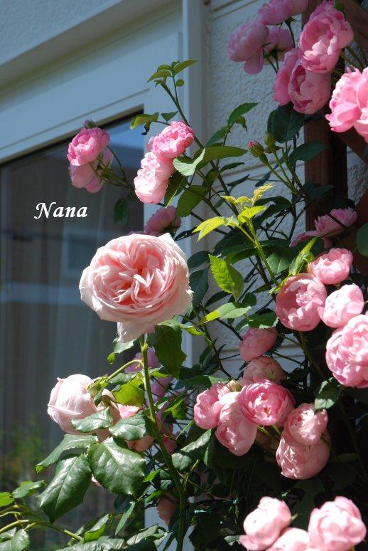 rose1-4.jpg