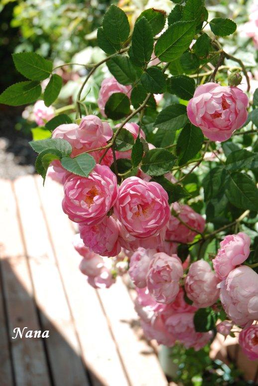 rose1-5.jpg