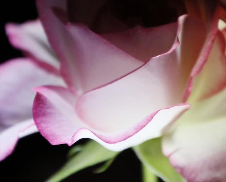 暗闇に浮かぶ花弁