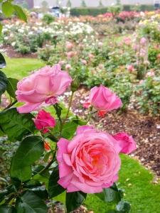 rosegardenbotanicalbelfast5