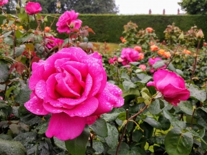 rosegardenbotanicalbelfast3