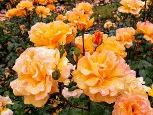 rosegardenbotanicalbelfast4