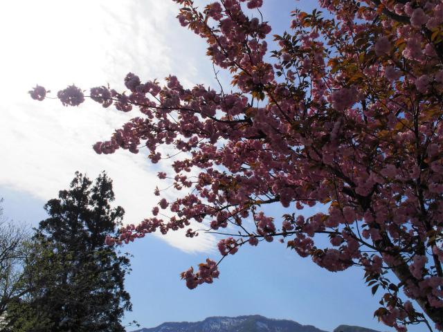 残雪残る山と八重桜