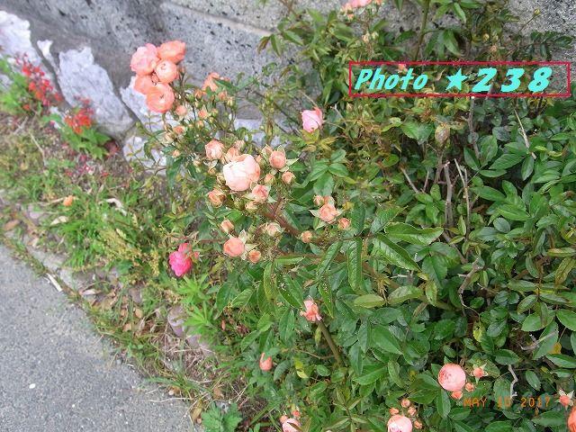 路地の薔薇