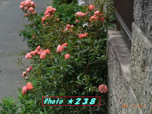薔薇の花③