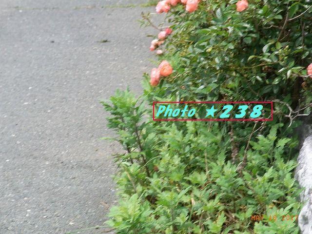 薔薇の花②