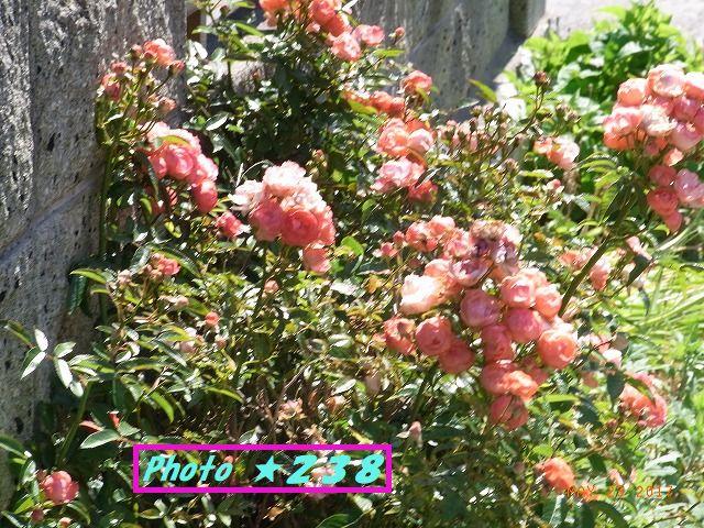 道辺の薔薇