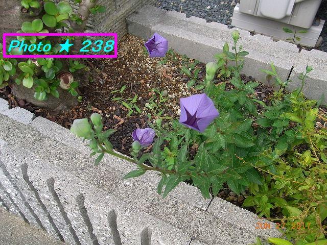 0627桔梗咲く