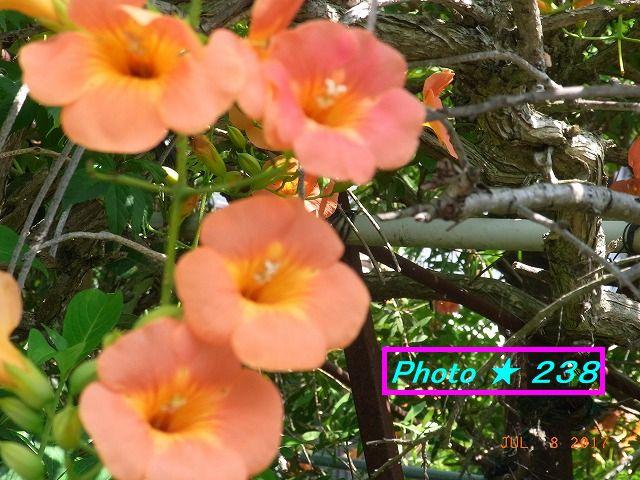 近所の芙蓉の花
