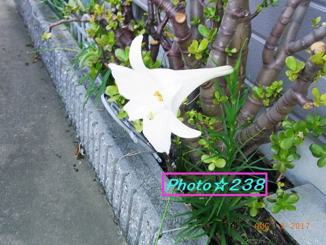 0809百合の花