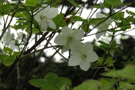 170617黒檜山~駒ヶ岳 (9)sシロヤシオ