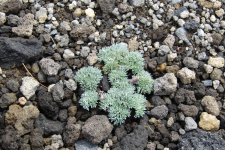 コマクサ170622横岳 (3)s
