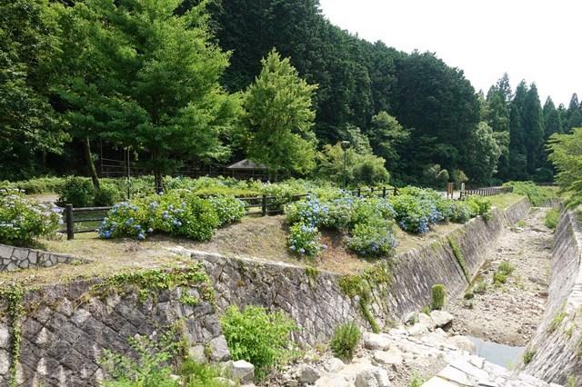 3 岩龍寺 紫陽花 (2)
