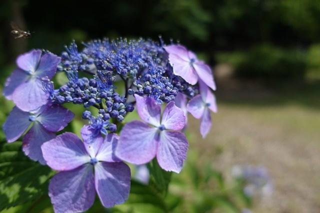 3 岩龍寺 紫陽花 (5)