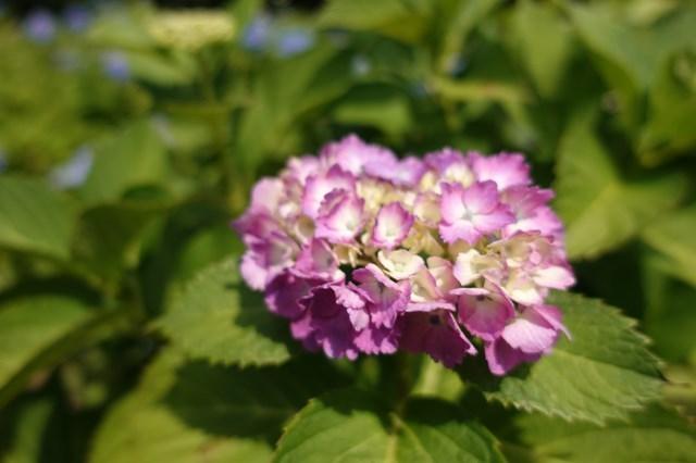 3 岩龍寺 紫陽花 (9)