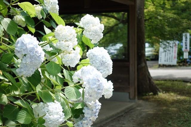 4 圓通寺 紫陽花 (9)