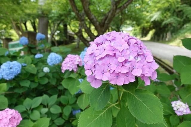 4 圓通寺 紫陽花 (11)