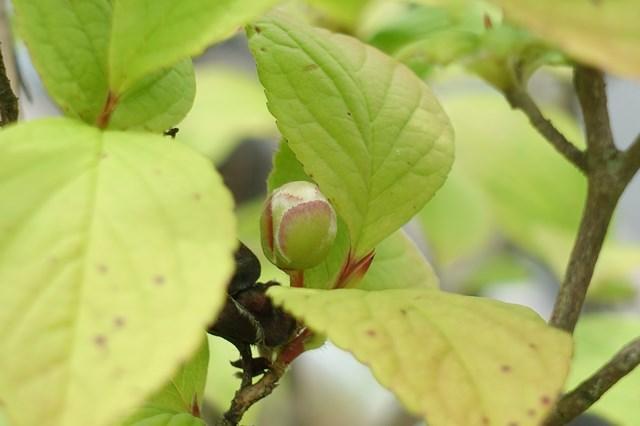 1 沙羅双樹 (2)