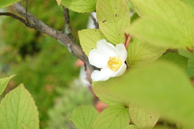 1 沙羅双樹 (3)