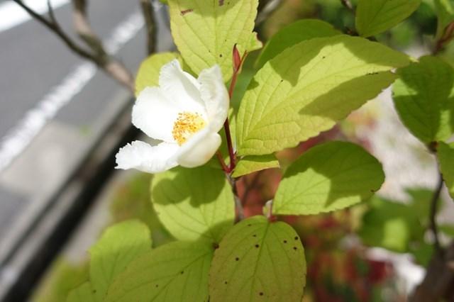 1 沙羅双樹 (5)