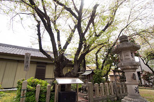 千年八幡神社桜と祠