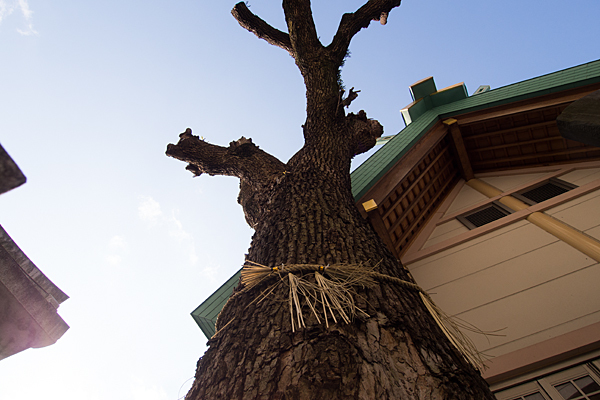 新栄八王子社御神木の裸木