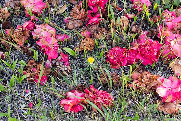 落花椿とタンポポ