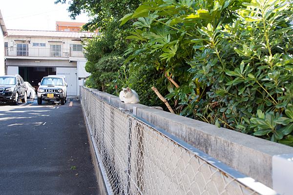 塀の上で遠くを見る猫