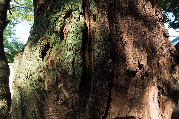 小本神明社巨木