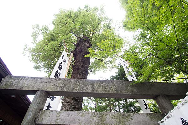 洲嵜神社御神木のイチョウ