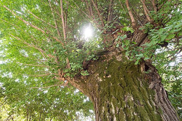 中山神明社イチョウの木