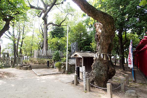 本願寺八幡社御神木