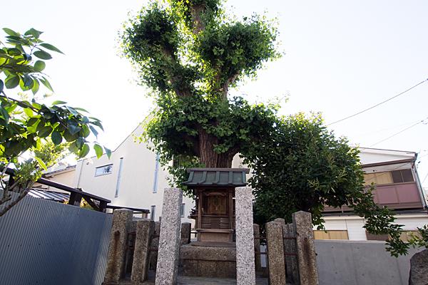 伝馬秋葉神社社とイチョウ