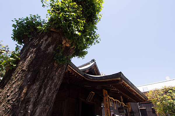 大須富士浅間神社イチョウの木