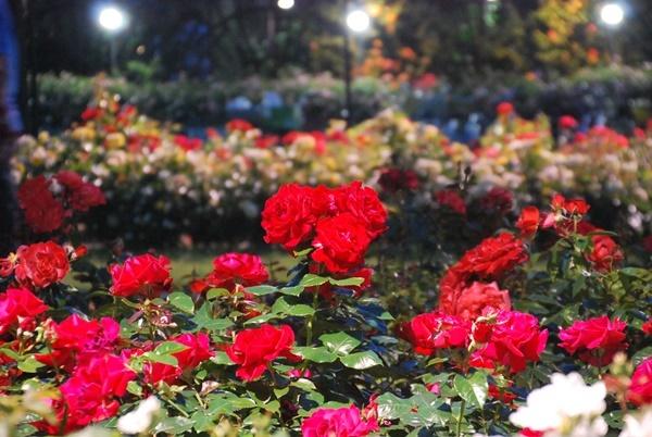 ライトアップのの赤いバラ