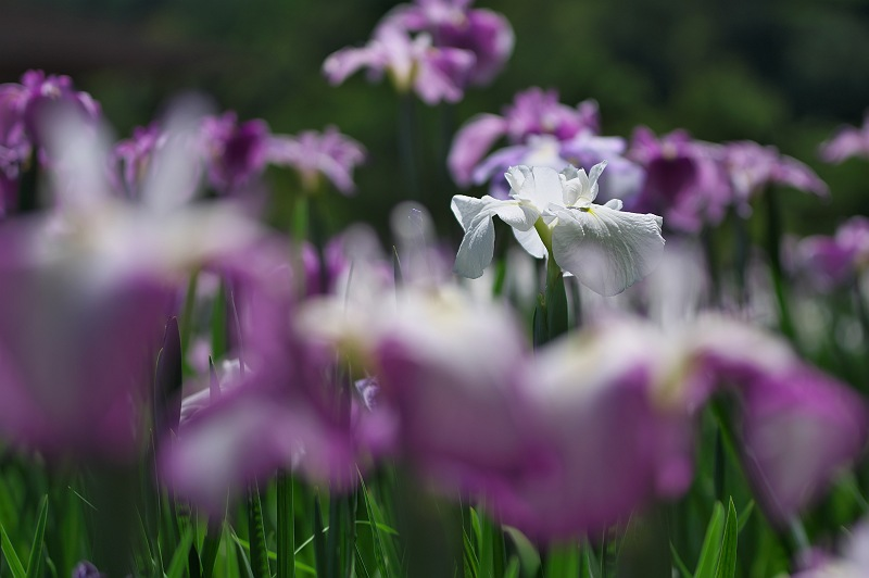 花菖蒲が咲く頃 三