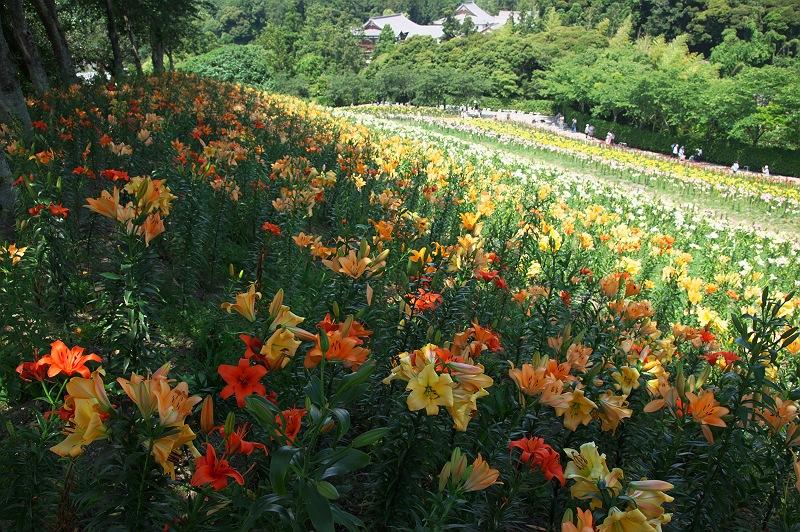 ゆりの咲く丘