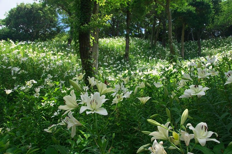 ゆりの咲く丘 3