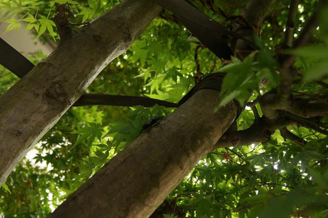 モミジの木を勢いよく登って行くクワガタ虫