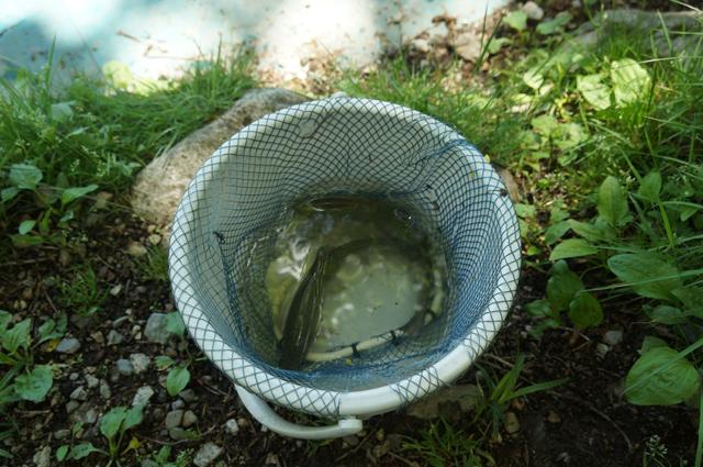 ニレ池で釣れた