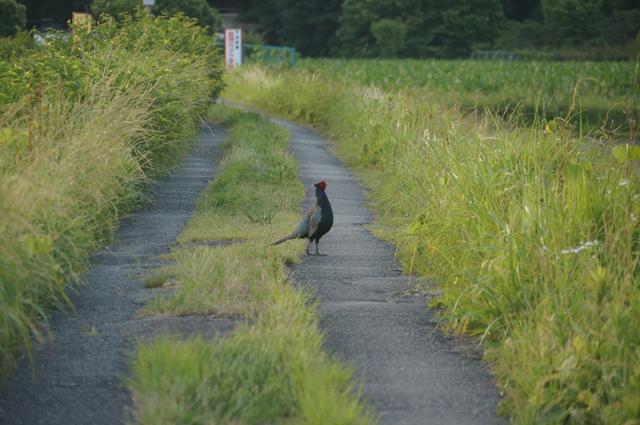 畦道を行く雉