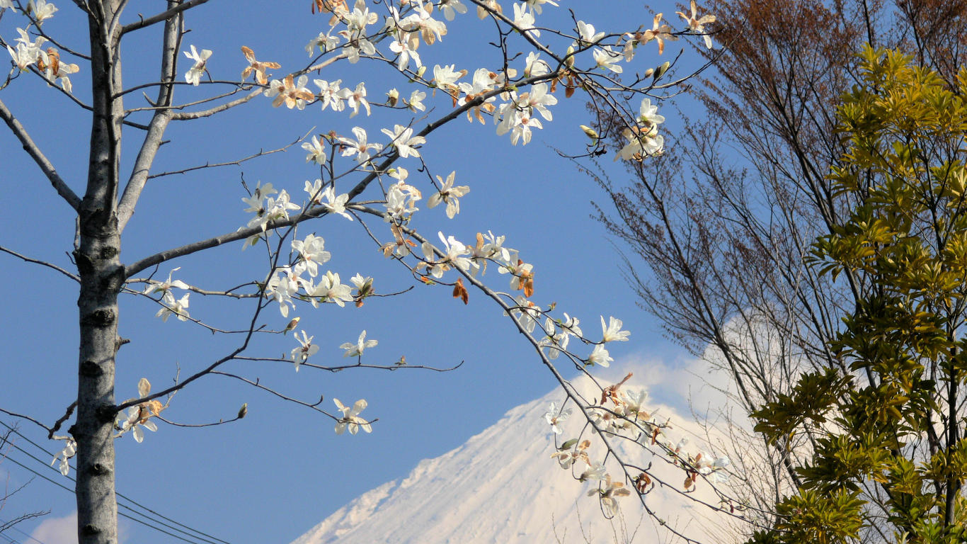 090327富士西公園004コブシ