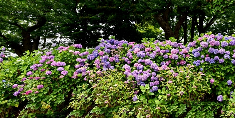 800水元公園紫陽花2_パノラマ1