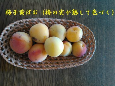 KIMG0852黄色いうめ