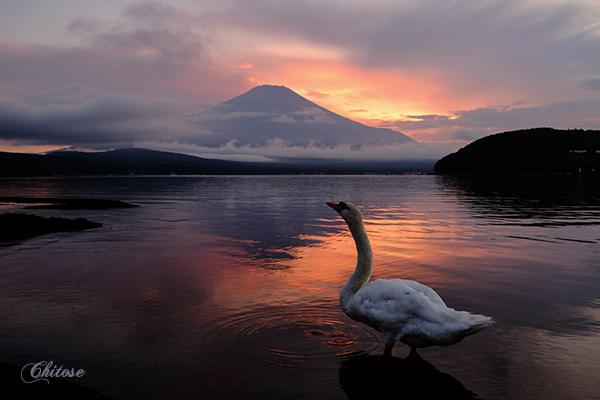 ブログ夕日と白鳥