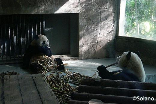 成都パンダ基地、屋内の成獣パンダ
