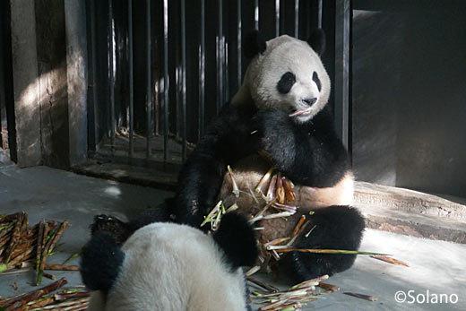 屋内で笹をむさぼる大人のパンダ