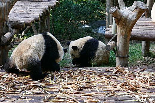 成都パンダ基地、野外で遊ぶ子供パンダ